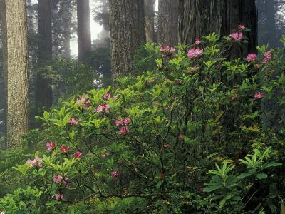 Rhoddy and Redwoods in Redwoods State Park, Del Norte, California, USA