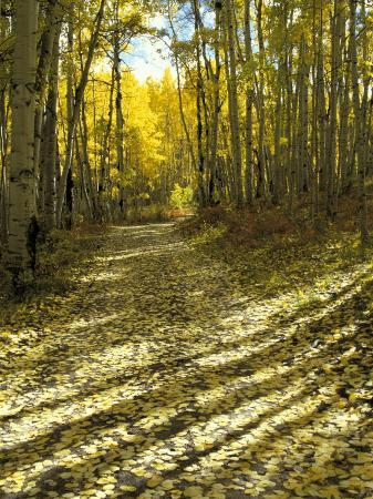 Aspen Tree Shadows and Old Country Road, Kebler Pass, Colorado, USA