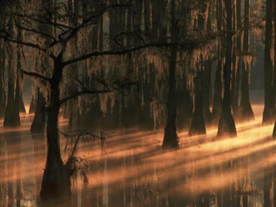 Cypress Trees at Sunrise, George Smith State Park, Georgia, USA