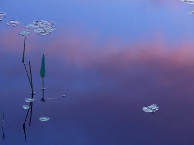 Pickerelweed, Lily Pads and Reflections in Trout Pond, Freedom, New Hampshire, USA