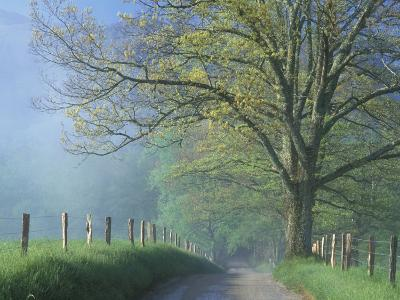Foggy Road and Oak Tree, Cades Cove, Great Smoky Mountains National Park, Tennessee, USA
