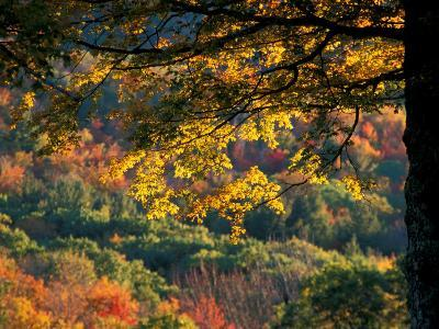 Yellow Leaves of a Sugar Maple, Green Mountains, Vermont, USA