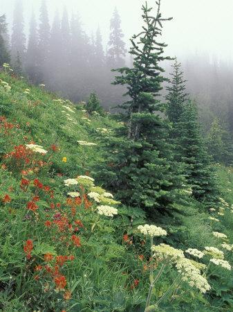Indian Paintbrush and Cow Parsnip, Olympic National Park, Washington, USA
