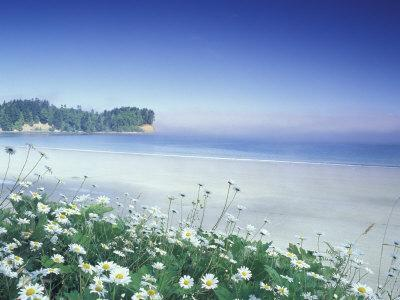 Daisies along Crescent Beach, Olympic National Park, Washington, USA