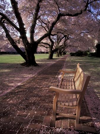 Japanese Cherry Trees at the University of Washington, Seattle, Washington, USA
