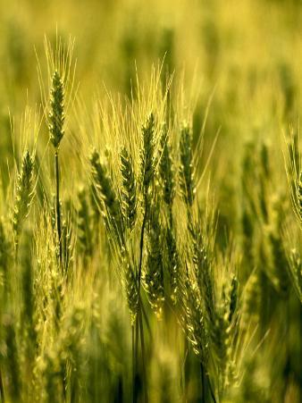 Wheat Crop in Palouse, Washington, USA