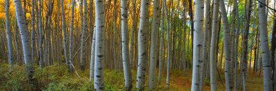 Aspen Grove, Kebler Pass, Colorado, USA