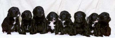 Eight Retriever and Labrador Puppies Sitting in a Row, December 2000