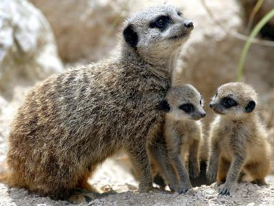 Jenny the Meerkat with Two of Her New Babies at London Zoo, June 2005