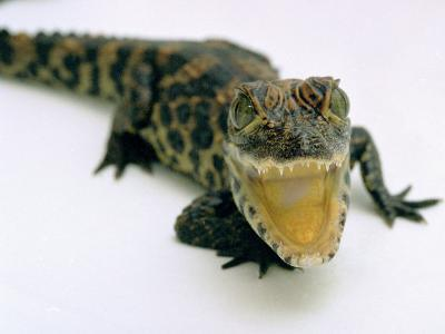 Want a Fight?: This Baby Alligator Has a Big Mouth at Bristol Zoo, November 1997