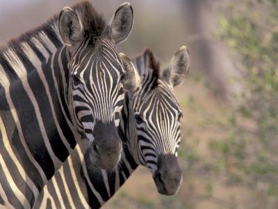 Burchell's Zebra, Zimbabwe