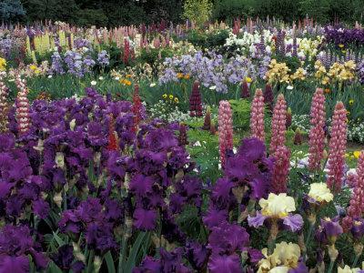 Iris Garden, Salem, Oregon, USA