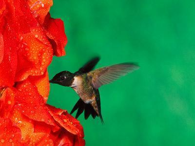 Male Ruby-Throated Hummingbird Feeding on Gladiolus Flowers