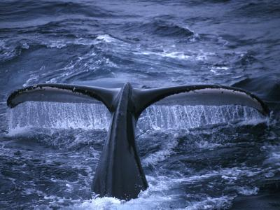 Humpback Whale Raising Tail Fluke Before Diving, Alaska Peninsula, Alaska, USA
