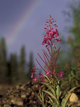 Fireweed Under Rainbow, Talkeetna, Alaska, USA
