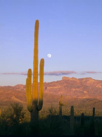 Moonrise Over Saguaro Cactus and Ajo Mountains, Organ Pipe National Monument, Arizona, USA