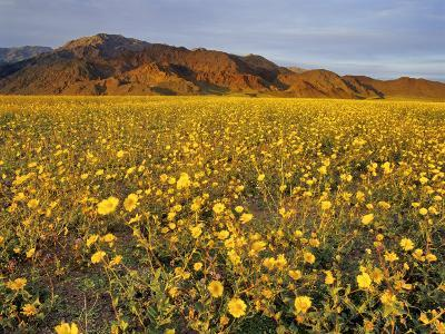 Field of Desert Gold Wildflowers, Death Valley National Park, California, USA