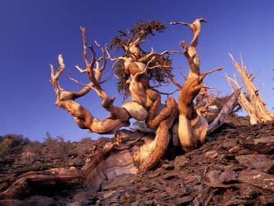 Bristlecone Pines, White Mountains, California, USA