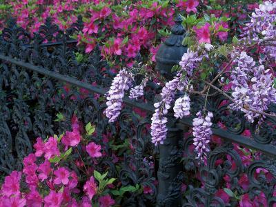 Azaleas and Wisteria Bloom at Bonaventure Cemetery, Savannah, Georgia, USA