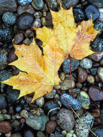 Maple Leaves on Pebble Beach, Lake Superior, Pictured Rocks National Lakeshore, Michigan, USA