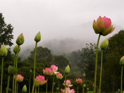 Lotus with Mountains and Fog in the Background, North Carolina, USA