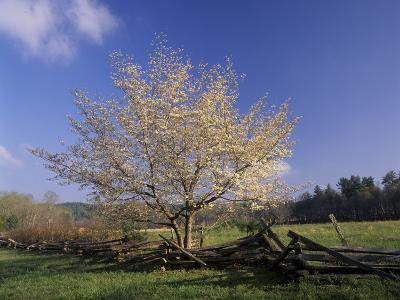 Flowering Dogwood Tree and Rail Fence, Great Smoky Mountains National Park, Tennessee, USA