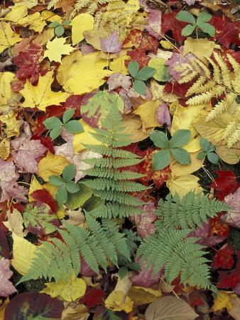 Lady Fern and Autumn Leaves, Great Smoky Mountains National Park, Tennessee, USA