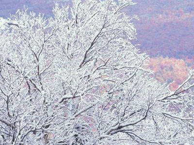 Fresh Snowfall on Birch, Burke Mountain, Vermont, USA