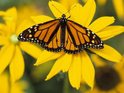 Monarch on Mexican Sunflower in the Woodland Park Zoo, Seattle, Washington, USA