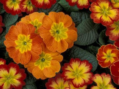Orange Primroses Pattern, Washington, USA