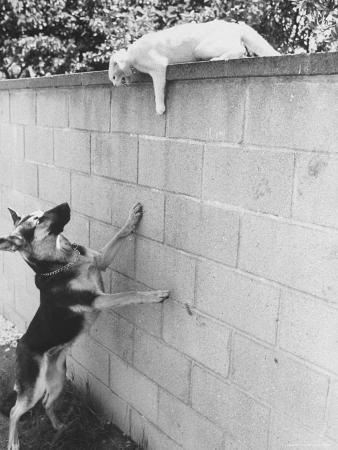 Cat Owned by Olympic Track Star Harold Connolly, on Wall Hissing at Police German Shepherd