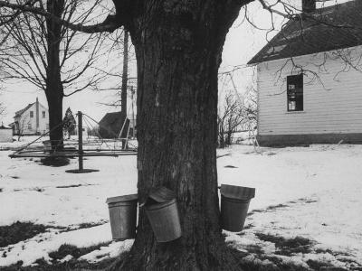 Three Pails Laying Against the Tree for Catching Maple Being Tapped in the Catskill Mt. Region