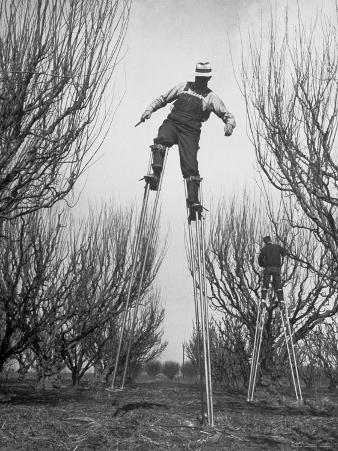 Fruit Growers Wayne Deming and Son Douglas Using Stilts to Prune Trees in Half the Usual Time