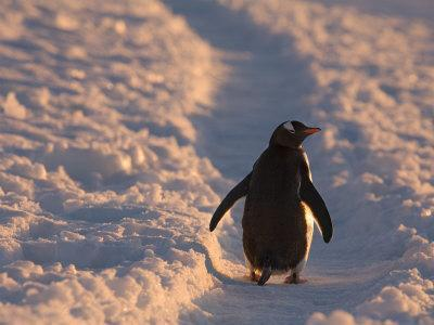 Gentoo Penguin Rests on Trail Towards Colony on Petermann Island, Antarctic Peninsula