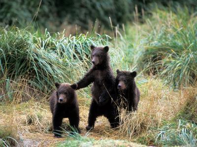 Grizzly Bear Cubs in Katmai National Park, Alaskan Peninsula, USA