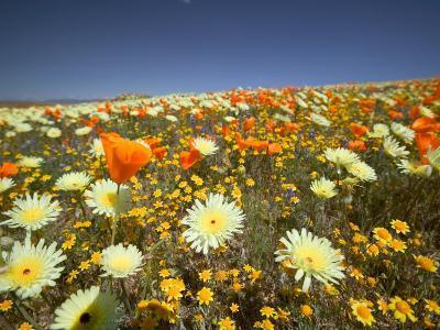 Poppies and Desert Dandelion in Spring Bloom, Lancaster, Antelope Valley, California, USA