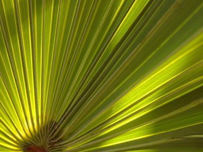 Traveler's Palm Leaf Detail, Edgewater, Florida