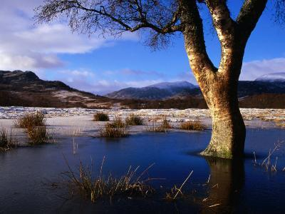 Tree Standing in Frozen Pond with Monadhliath Mountains in Background, Kingussie, United Kingdom