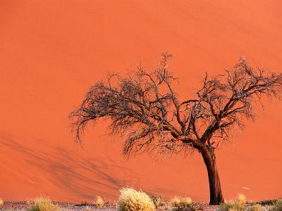 Acacia Tree in Front of Dune, Sossusvlei, Namibia