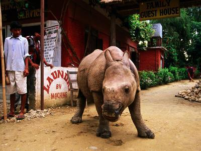 An Orphan Baby Indian Rhinoceros Standing in a Street, Royal Chitwan National Park, Sauraha, Nepal