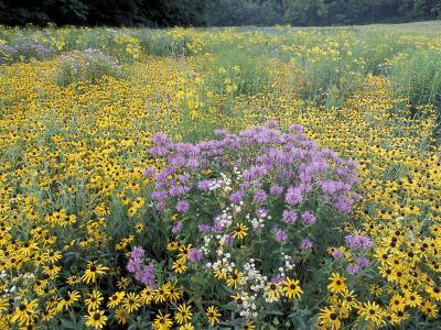Wild Bergamot, Black Eyed Susans, Michigan, USA
