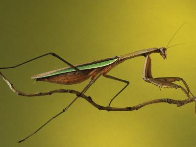 Praying Mantis on Twig, Rochester Hills, Michigan, USA