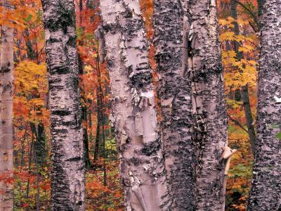 Forest Landscape and Fall Colors on Deciduous Trees, Lake Superior National Forest, Minnesota, USA