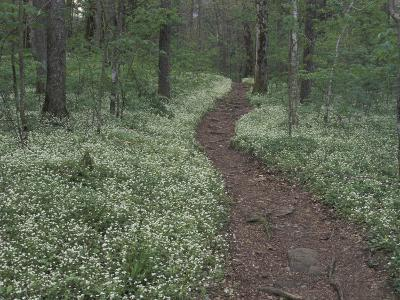 Footpath through White Fringed Phacelia, Great Smoky Mountains National Park, Tennessee, USA