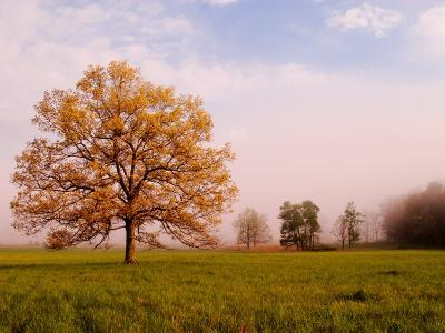 Tree in Foggy Meadow, Cades Cove, Great Smoky Mountains National Park, Tennessee, USA