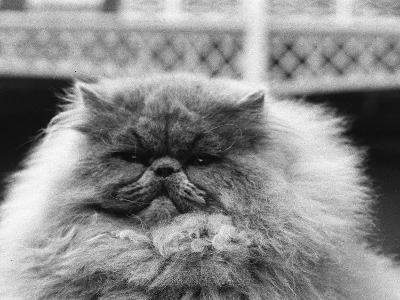 Blue Persian Cat in the National Cat Club Championship at the Olympia