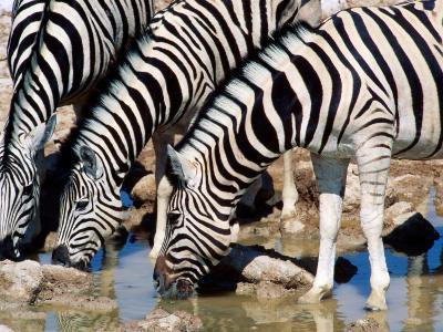 Zebras at Waterhole, Etosha National Park, Namibia