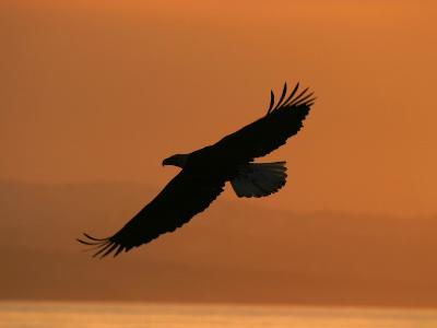 American Bald Eagle Soaring at Sunset (Haliaeetus Leucocephalus)