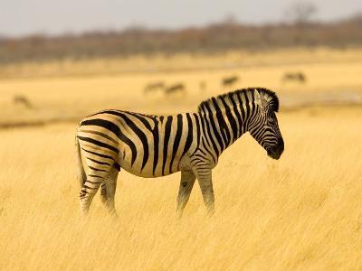 Zebra in Golden Grass at Namutoni Resort, Namibia