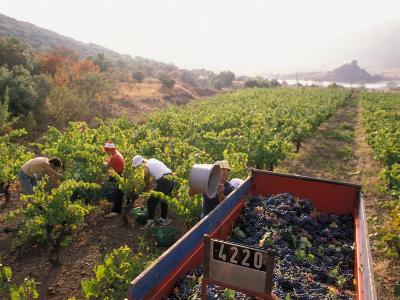 Picking Grapes, Languedoc, France